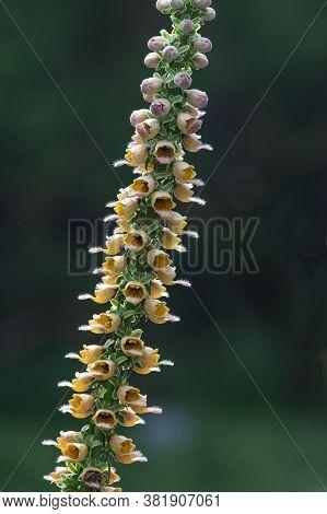 Wooly Foxglove Plant (digitalis Lanata) In North Rhine Westphalia,germany