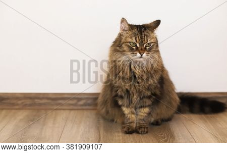 Fluffy Gray Cat Sits On The Floor Against The Background Of A White Wall. The Cat Sits On The Floor