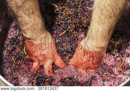 A Winemaker Squeezes The Juice From The Collected Grape Clusters With His Hands