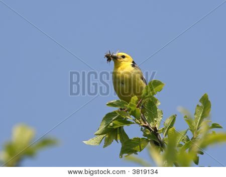 Yellow Wagtail with food in it's beak on a beautiful blue background poster