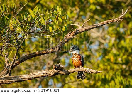 Ringed Kingfisher In Bushes Of Lake Near Mexican Puerto Escondido City