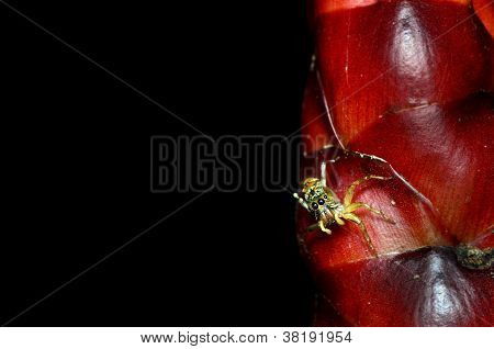 Jumping Spider With The Red Flower