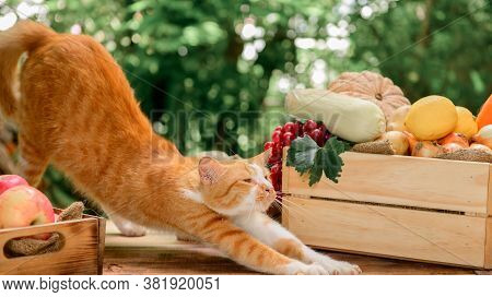 Cat With Eco Fruit And Vegetables In Autumn. Agricultural On Harvest Cornucopia In Fall Season And T