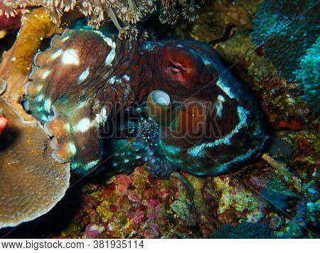 Octopus Watching Photographer Laying In The Reef Flashing With Its Array Of Camouflage Tricks