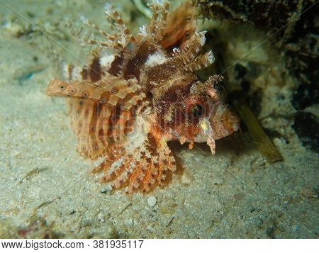 Pretty Dwarf Lion Fish Swimming On The Sandy Bottom Of The Sea Looking For Its Next Meal