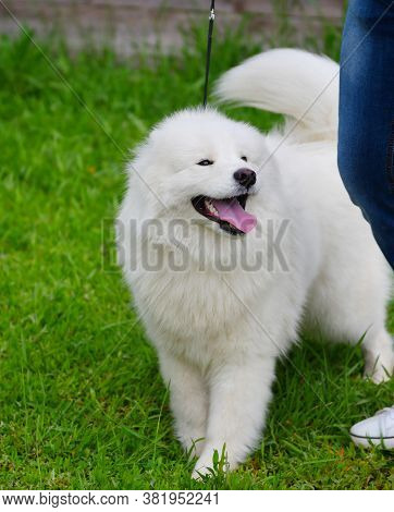 Samoyed Dog (samoyed, Samoyed Husky, Samoyed Spitz, Sammi)