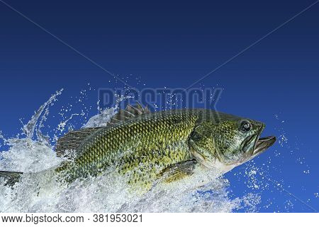 Bass Fishing. Largemouth Perch Fish Jumping With Splashing In Water Isolated On Blue Background