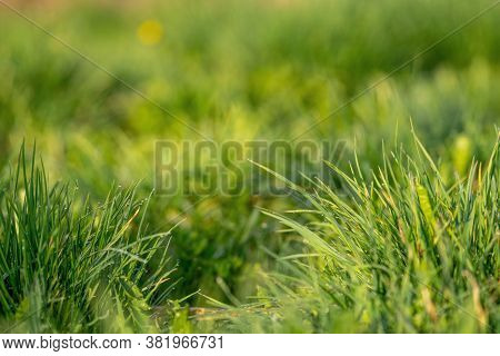 Green Grass And Drops Of Morning Dew. Fresh Green Grass With Dew Drops Closeup. Nature Background. D