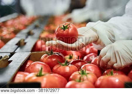 Worker In Latex Gloves Inspecting A Red Tomato