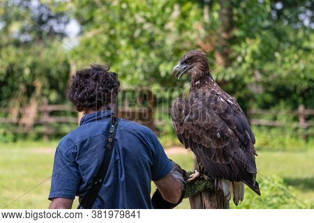 Falconer Seen From Behind Next To A Golden Eagle Placed On A Pole For Training, Large American Bird