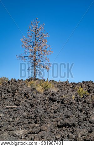 Lone Tree Growing Out Of The Lava Rock At Lava Lands - Newberry Volcano National Monument In Oregon