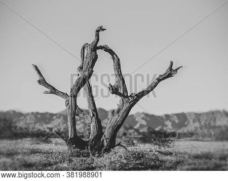 Crooked Trees, Dead For Many Years Past. In The Southeastern Portion Of The U.s. State Of California