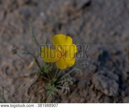I Found Many Mojave Poppy (eschscholtzia Glyptosperma) Flowers In The Desert Of Southern California