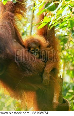 Baby Sumatran Orangutan Next To Its Mother N Gunung Leuser National Park, Sumatra, Indonesia. Sumatr