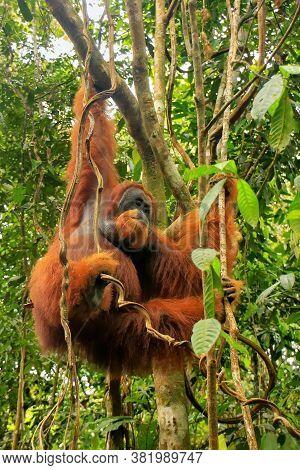 Male Sumatran Orangutan (pongo Abelii) Hanging In Trees In Gunung Leuser National Park, Sumatra, Ind