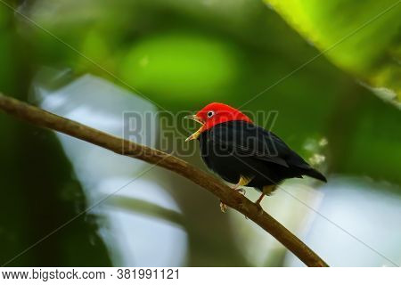 Red-capped Manakin (ceratopipra Mentalis) Sitting On A Branch, Costa Rica