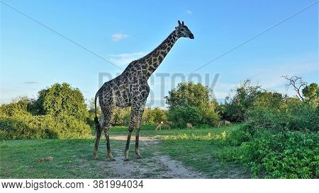 Giraffe Against The Blue Sky, Close-up. A Wild Tall Animal With A Beautiful Pattern On The Skin Stan