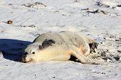 Australian Sea Lion Seal Bay Conservation Park Kangaroo Island South Australia poster