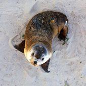 Young Australian Sea Lion Pup. Seal Bay Conservation Park Kangaroo Island South Australia poster