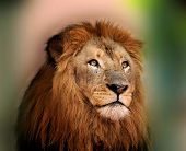 Royal King Lion with Majestic Face and Sharp Bright Eyes poster