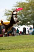 Dog Jumps And Opens Mouth Wide To Catch Frisbee poster