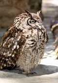 Sleepy Africa Spotted Eagle Owl in Daylight poster