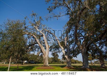 Old Oak Trees In Sunny Park