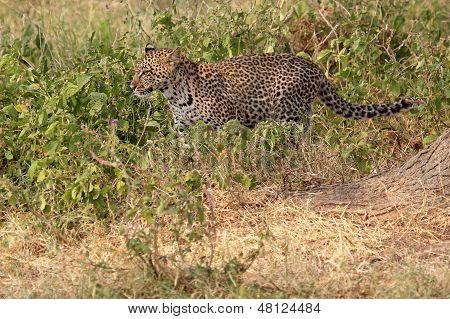 Leopard (Panthera pardus) walking in the bush in Serengeti National Park Tanzania poster