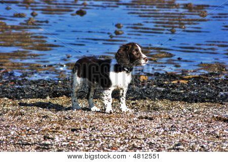 Spaniel Enjoying The Sun At The Beach