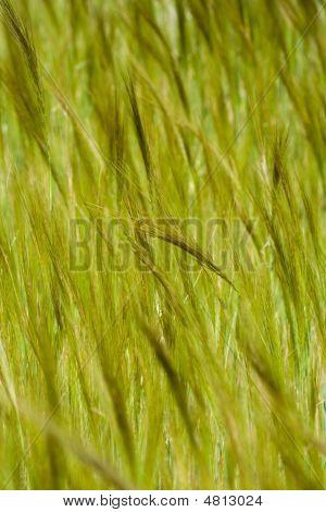 Wheat Fied Crop Detail