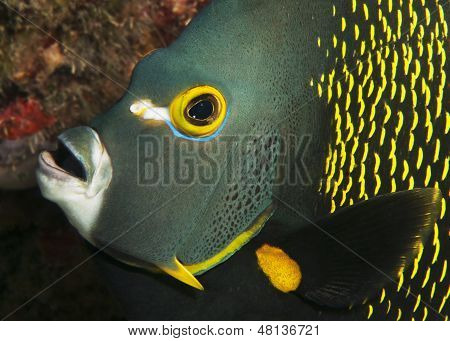 French Angel Fish Face