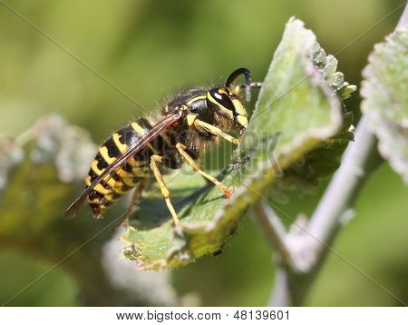 Yellowjacket on a Leaf
