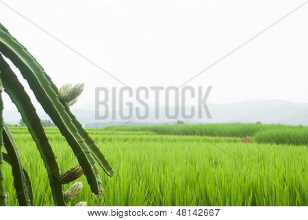 Dragon Fruit Bud With Against The Backdrop Of The Rice Fields.