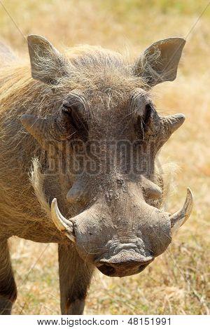 Portrait Of A Warthog