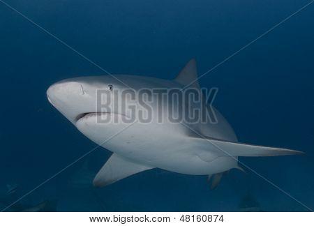 Bull Shark Perfection