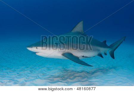 Bull Shark in Light Blue Water