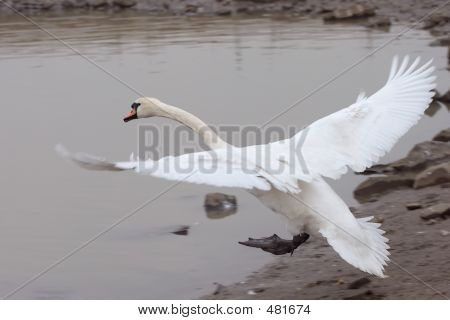Swan Touching Down