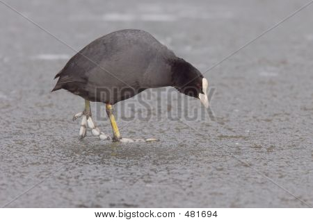Eurasion Coot On Ice 2