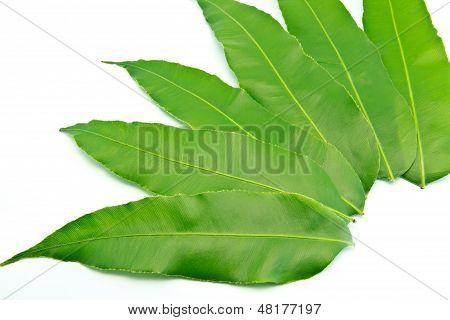 Green Leaf  tabulate On A White Background.