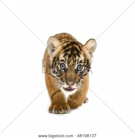 baby bengal tiger isolated on white background poster