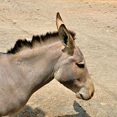 Somali wild ass. Critically endangered animal similar to the zebra facing high risk of extinction in the wild. poster