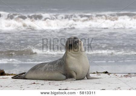 Southern Seal (mirounga Leonina)