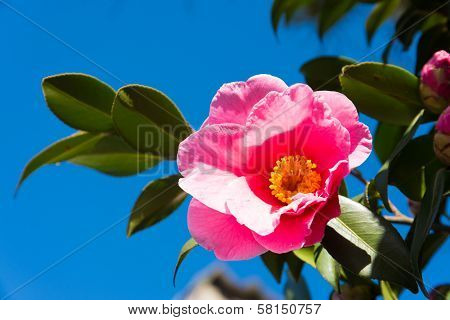 Flower Of The Sasanqua And Blue Sky