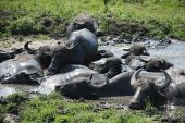 Water buffalo wallow in a pool of mud at a buffalo reserve in Hungary poster