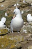 Black-browed Albatross (diomedea Melanophris) preening on its nest on the Falkland Islands poster