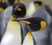 King penguins (Aptenodytes patagonicus) at Volunteer Point Falkland Islands poster