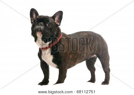 French bulldog puppy on white