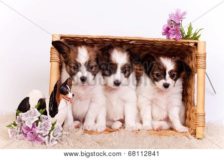 Three Papillon Puppies on white background