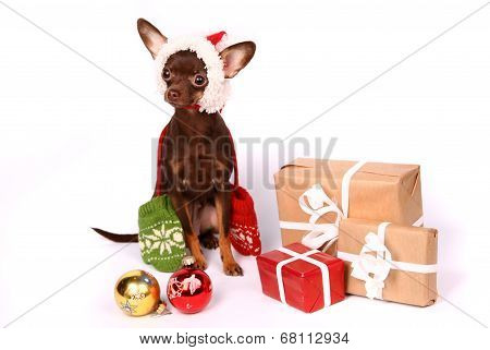 Russian toy terrier on the white background poster