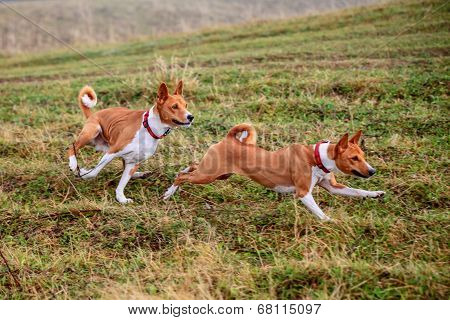 Two Basenji dogs in autumn